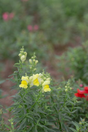 Snapdragon flower in garden Stock Photo
