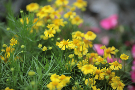 the Perennial garden flower in spring