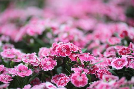 Dianthus deltoides flowers