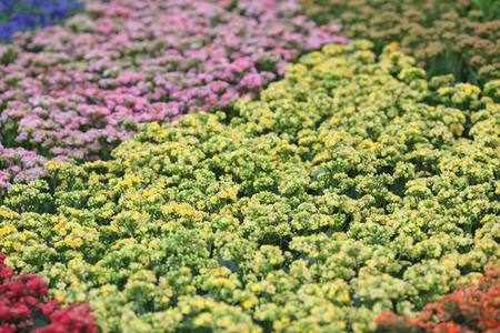 the Perennial garden flower in spring Stock Photo