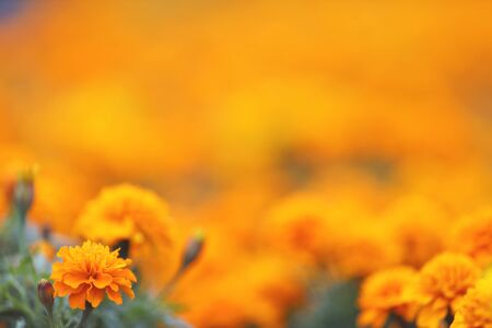 die Ringelblumen Tagetes erecta, mexikanische Ringelblume, aztekische Ringelblume, afrikanische Ringelblume Standard-Bild