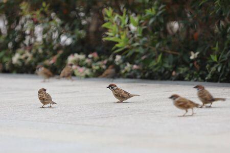 a Small sparrow on gray path at park 版權商用圖片