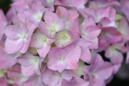 hortensia flower close up. Artistic natural background. flower in bloom in spring 版權商用圖片 - 140356808