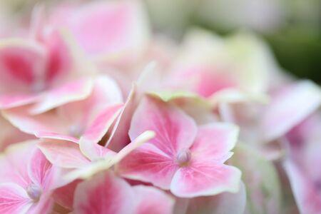hortensia flower close up. Artistic natural background. flower in bloom in spring 版權商用圖片 - 140357164