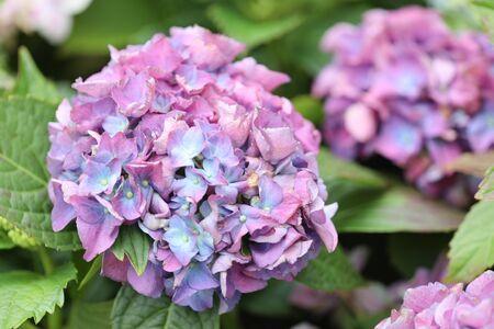 hortensia flower close up. Artistic natural background. flower in bloom in spring 版權商用圖片 - 140357224