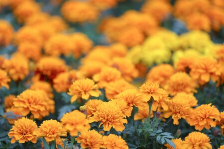Closeup of orange marigold flowers and foliage 版權商用圖片 - 140357173