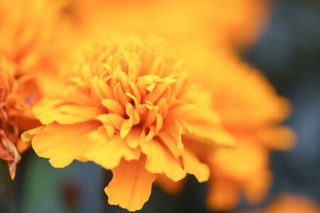 Closeup of orange marigold flowers and foliage