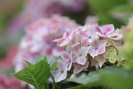 hortensia flower close up. Artistic natural background. flower in bloom in spring