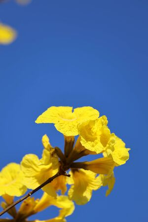 a Beautiful Tabebuia chrysantha blossom blooming on tree blue sky