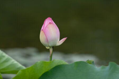 Lotus. Garden, asia. beautiful lotus flower on the water 6 July 2008