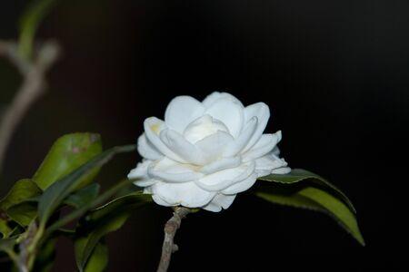 a the Camellia Debutante japonica, a double bloom