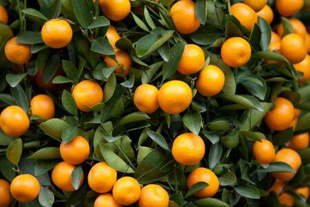the Chinese new year orange tree at nature 7 Feb 2008 Stock Photo