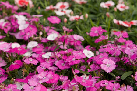 a Tricolor pansy flower plant natural back ground,