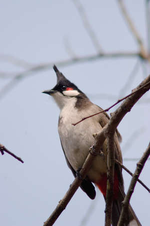 a Red whiskered bulbul (Pycnonotus jocosus). bird perching on branch in nature