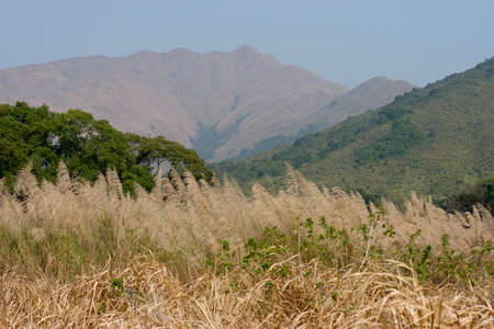 Meadow with tall dryed out grass in the autumn at Sha Lo Tung, hk Stock Photo