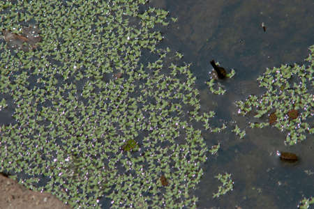 The green nature Duckweed and water plant cover the pond pool.