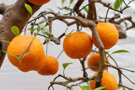the mandarin oranges, on the plants of tree