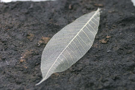the skeletonized leaf of a tree on a earth