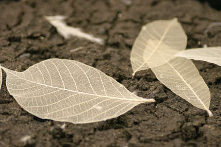 8 June 2005 the skeletonized leaf of a tree on a earth
