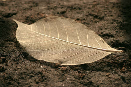 skeletonized leaf of a tree on a earth