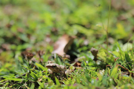 the Brown tree frog on the grass land
