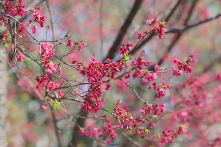 Pink cherry blossoms, Blooming Taiwan Cherry Blossoms Archivio Fotografico