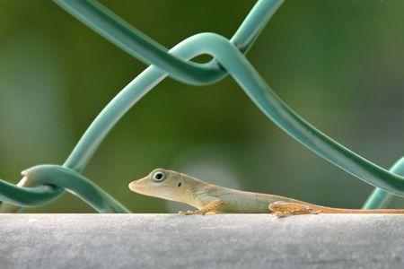 Jamaican Gecko