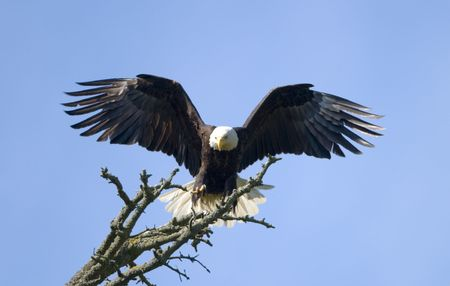 American Bald Eagle Landing Stock Photo