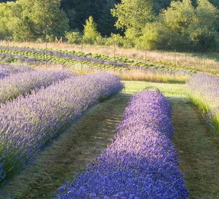 Lavender farm and fields