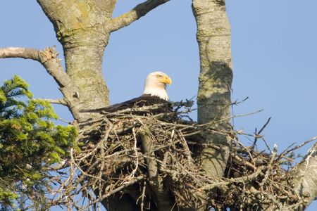 large bird: American bald eagle in its nest