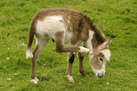 burro: Burro del beb� que rasgu�a su o�do