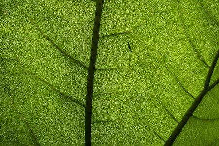 apparent: Giant leaf pattern shows the translucent underside of a leaf from a forest in Ireland was dimly lit from the sky above. The pattern from the veins is clearly apparent. The leaf was probably about five feet wide and about six feet tall.
