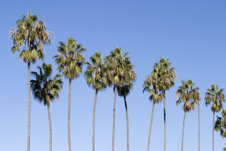 A row of several palm trees stretching into the air with solid blue sky behind. The slender trunks are lined up in a sort of pattern. Imagens