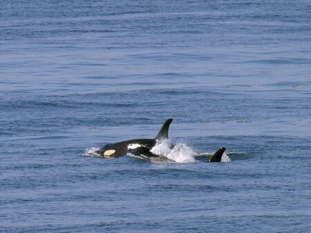Orca Whales Stock Photo