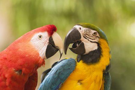 ararauna: Dos macaws brillantemente coloreados est�n tocando sus picos en una cara apagado. Uno es un azul y el macaw amarillo (ararauna del ara) y el otro es un macaw del escarlata (ara Macao). Ponen en peligro a estos miembros de la familia del loro en el salvaje.