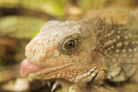 A macro close-up view of an iguana who, conveniently, chose to stick its tongue out. The shallow depth of field leaves the immediate focus on the eye with the background blurred and out of focus. 版權商用圖片