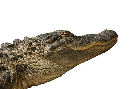 dozing: A Florida alligator that was dozing with its eyes closed in the sun. This gator has been isolated to a white background.