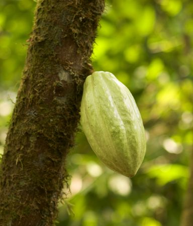A pod of cacao beans on a tree in a Costa Rican plantation. The beans from this pod will be turned into chocolate. This pod was about 8 inches or 20 cm long.
