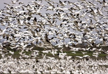 skagit: An enormous flock of snow geese in mid-air during their migration. This flock of black and white birds was located in the Skagit Valley in Washington. Stock Photo