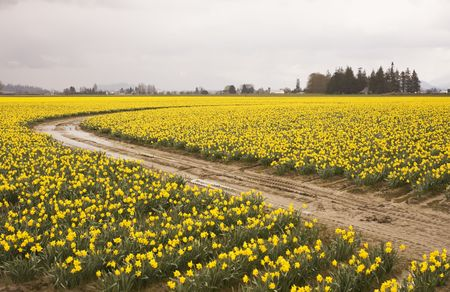 skagit: A field at a farm in the Skagit Valley that is filled with thousands of daffodil (genus: Narcissus) flowers that are in full bloom as spring starts. A single road winds through the flower rows in the field.