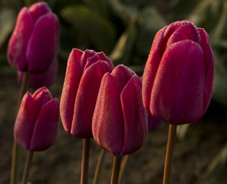 A small cluster of red tulips at the annual Skagit Valley Tulip Festival. There is a small bit of frost on the petals.