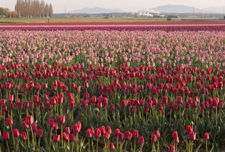 skagit: A farm with a field of tulips in the Skagit Valley. As part of the annual Tulip Festival, farms are bright with the colorful flowers. Stock Photo