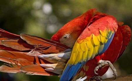 The Scarlet Macaw (Ara macao) is a large, colorful parrot. The plumage is mostly scarlet, but the rump and tail-covert feathers are light blue, the greater upperwing coverts are yellow, the upper sides of the flight feathers of the wings are dark blue as  photo