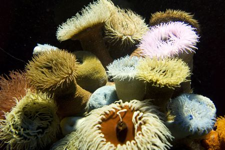 A group of colorful sea anemones with tentacles waving in the current in an aquarium. Stock Photo - 3604760