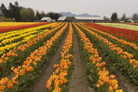 skagit: A farm and field with rows of brightly colored tulips (liliacaea tulipa) that are in full bloom during the Skagit Valley Tulip Festival.