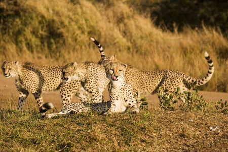 Four cheetah cubs playing near a road while on safari in the Phinda Game Reserve. The cheetah (acinonyx jubatus) is a member of the cat family (felidae). as the fastest land mammal, it is unique in its speed, yet lacks climbing abilities. photo