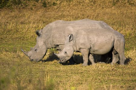 grazer: A female white rhino grazing with its baby. The white rhinoceros or square-lipped rhinoceros (ceratotherium simum) is one of the few megafauna species left. Behind the elephant, it is the most massive remaining land animal in the world. It is known for it Stock Photo