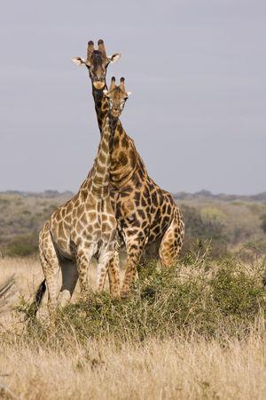 an ungulate: Due giraffe, visti su safari, con il loro collo intrecciate forma una torre o un caleidoscopio. La giraffa (giraffa camelopardalis) � un anche brachydactyla ungulato pianto, il pi� alto di tutte le specie di animali terrestri-vita e il pi� grandi dei ruminanti. Giraffe possono AB