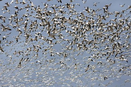 transient: A large flock of snow geese (chen caerulescens) circling overhead