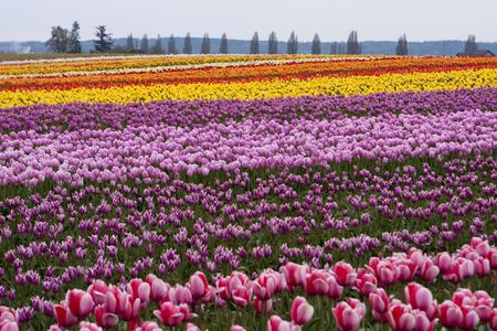 flowering field: Tulip farm with a field of tulips in full bloom during the annual Skagit Valley Tulip Festival Stock Photo
